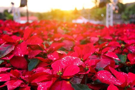 Red Christmas leaves With dew drops and sunshine 写真素材