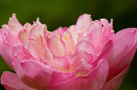 Pink lotus, overlapping petal  photo