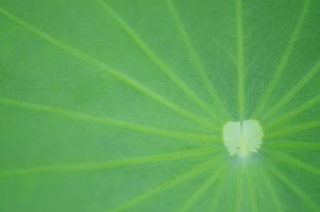 Water lily leaf, closed-up