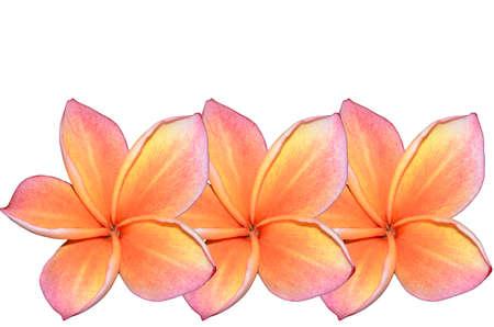 Two tone plumeria flower on white background  photo