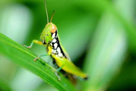 A colorful short-horned grasshopper on rattan leaf