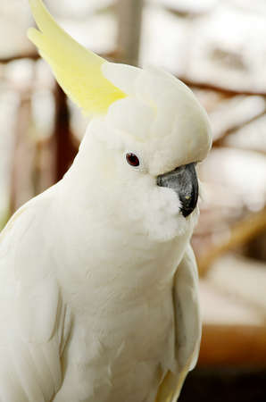 White cockatoo closed-up  Stock Photo