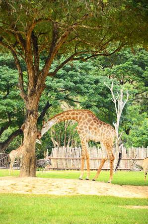 Giraffe under the big tree  photo