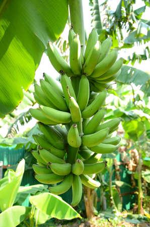unripened: Green bananas on trees