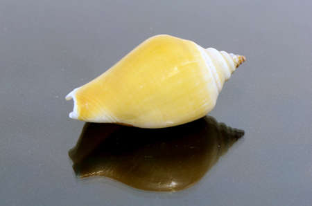 murex shell: Sea Shell Collections  Stock Photo