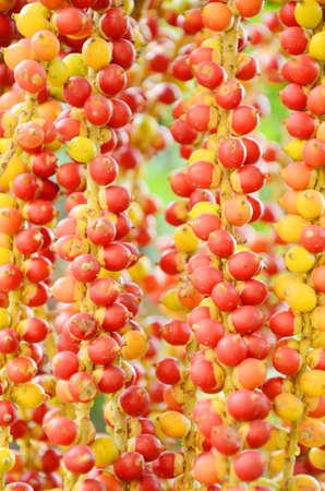 red palm oil: Frutti di Golden fruttato giallo Madagascar palma Chrysalidocarpus lutescens Wendl