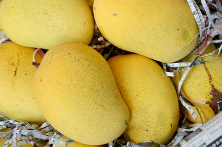 Special selected Thai ripe mango prepare for export packing  Stock Photo