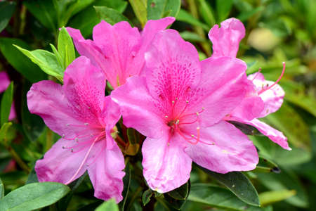 azalea: Pink Rhododendron in Northern of Thailand blossom in October
