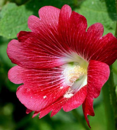 alcea: Hollyhock Alcea rosea L Foto de archivo