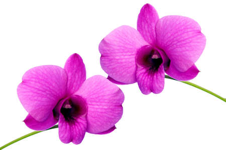Purple Denerobium Orchids  Stock Photo