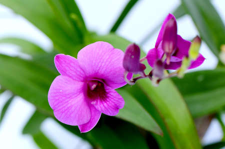 Purple Orchids  Dendrobium hybrids  photo