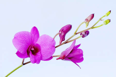 Purple Denerobium Orchids  photo