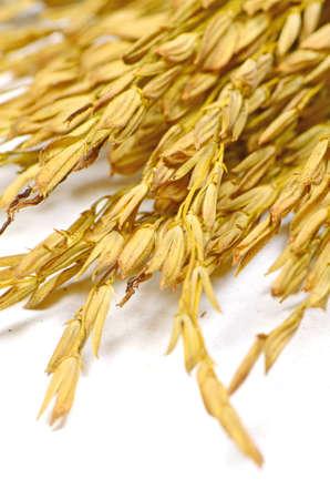 Thai Jasmine Rice  Oryza sativa  Spike  The Economic Crops of Asia  photo