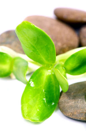 unsaturated: Sunflower sprout, a rich source of unsaturated fats and protein