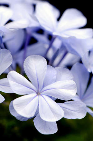 auriculata: Closed-up of Cape Leadwort flower Plumbago auriculata Lam   on Natural Background  Stock Photo