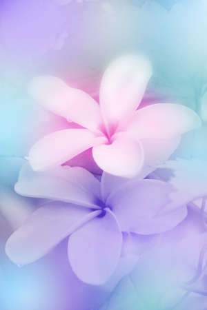 Closed-up of Plumeria spp   frangipani flowers, Frangipani, Pagoda tree or Temple tree  with Soft Focus Color Filtered as Background  Stock Photo