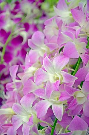 Fancy Tone of Denerobium Orchids  Dendrobium Hybrid  in Thailand