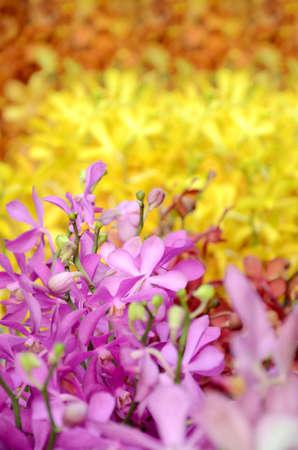 Fresh Cut of Thailand Beautiful Mokara Orchid, Thai Tropical Flower