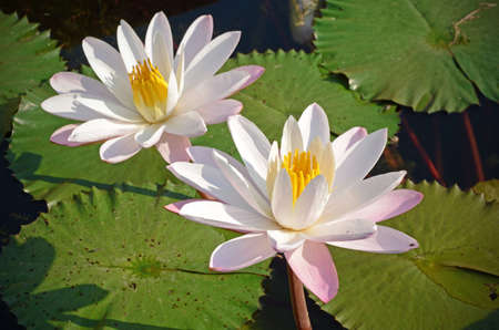 l natural: Couple of Water Lily (Nymphaea lotus L) in the Morning Light with Natural Background. Stock Photo