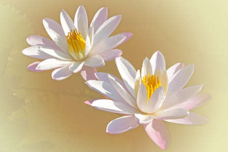Couple of Water Lily (Nymphaea lotus L) in the Morning Light with Pastel Color Background. Stock Photo