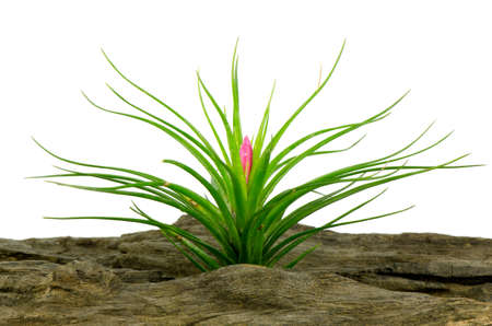 tillandsia: Tillandsia on white background.