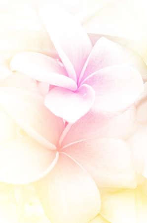Closedup of Plumeria spp. frangipani flowers Frangipani Pagoda tree or Temple tree with Soft Focus Color Filtered as Background. Stock Photo