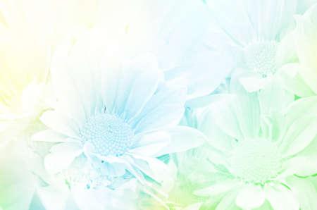 flores exoticas: Closedup de aerosol Tipo de Crisantemo Dendranthemum grandifflora con enfoque suave de color filtrada como fondo.