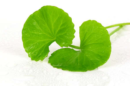 Indian pennywort (Centella asiatica (L.) Urban.) brain tonic herbal plant.