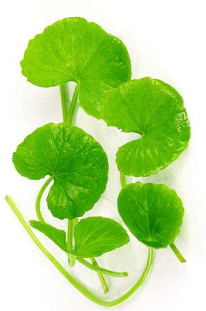 asiatica: Indian pennywort (Centella asiatica (L.) Urban.) brain tonic herbal plant.
