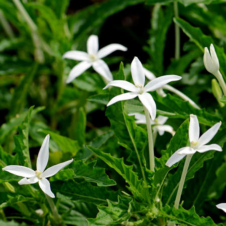 pip: Star of Bethlehem, Hippobroma longiflora (L.) G.Don. Thai traditional herbal medicine.