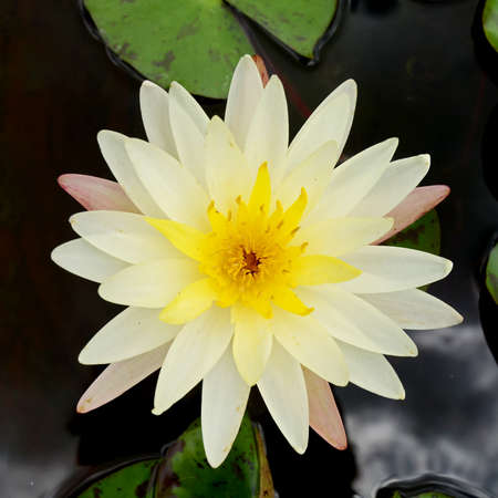 waterlily: Day – Blooming Tropical Waterlily Blossom in the Morning Light.