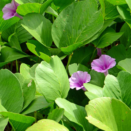 pes caprae: Beach Morning Glory or Goats Foot Creeper ( Ipomoea pes-caprae ( L.) R.br.) Thai traditional herbal medicine. Stock Photo