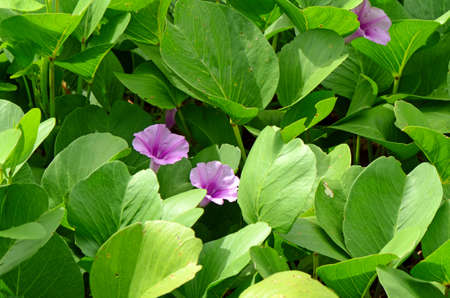 convolvulaceae: Beach Morning Glory or Goats Foot Creeper ( Ipomoea pes-caprae ( L.) R.br.) Thai traditional herbal medicine. Stock Photo