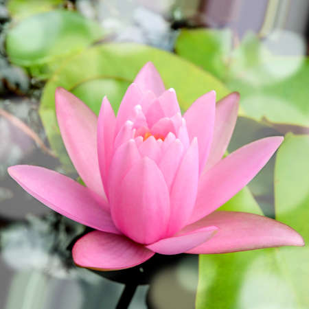 nymphaea: Pink Hardy water-lily (Nymphaea sp. and hybrid) blossom in the morning light. Stock Photo