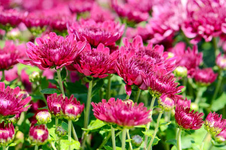 closedup: Spray Type of Magenta Chrysanthemum (Dendranthemum grandifflora) in closed-up.