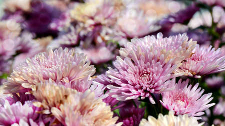 closedup: Spray Type of Pink Chrysanthemum (Dendranthemum grandifflora) in closed-up.