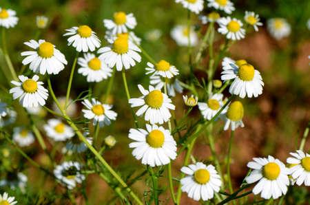 カモミール (Chamaemelum ノビレ l.)。 写真素材