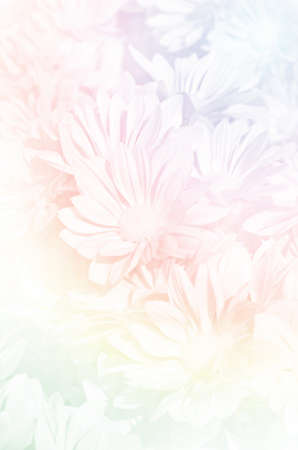 closedup: Closed-up of Spray Type of Chrysanthemum (Dendranthemum grandifflora) in Pastel Tone.