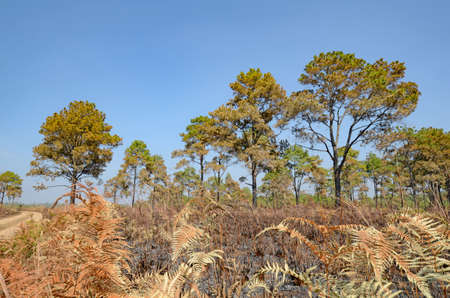 forest fire: Dry land of savanna and pine forest after forest fire.