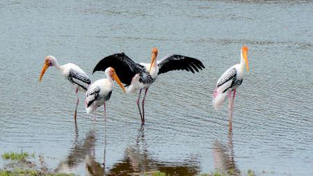 cigogne: Le comportement de cour de Stork peint (Mycteria de leucocephala) dans la nature.