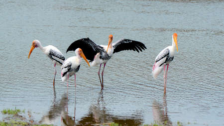 courtship: The courtship behavior Of Painted Stork (Mycteria leucocephala) in nature. Stock Photo