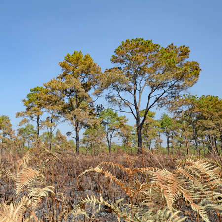 dry land: Dry land of savanna and pine forest after forest fire.