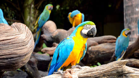 ararauna: Blue-and-yellow macaw or blue-and-gold macaw (Ara ararauna)