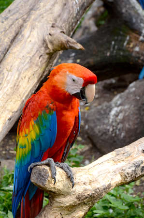 mccaw: Scarlet macaw (Ara macao) is a large, red, yellow and blue South American parrot.