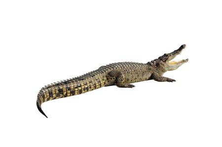 siamensis: Freshwater crocodile, Siamese crocodile (Crocodylus siamensis) isolated on white background