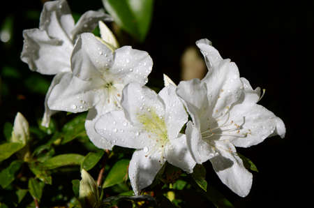 azalea: White Rhododendron in Northern of Thailand blossom in October. Stock Photo