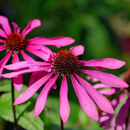 echinacea purpurea: Blossom purple coneflower (Echinacea purpurea) on natural green background.