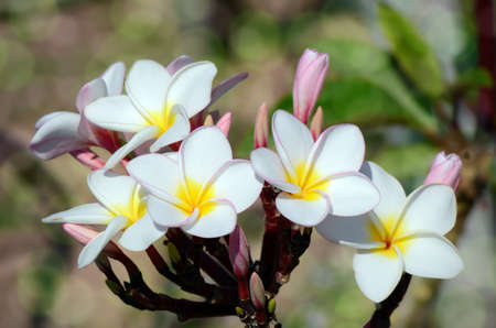 White and yellow Plumeria spp. (frangipani flowers, Frangipani, Pagoda tree or Temple tree) with bokeh background.