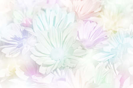 closedup: Closed-up of spray type of Chrysanthemum (Dendranthemum grandifflora) in pastel tone. Stock Photo