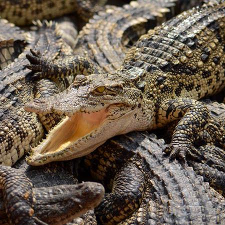 siamensis: Freshwater crocodile, Siamese crocodile (Crocodylus siamensis)